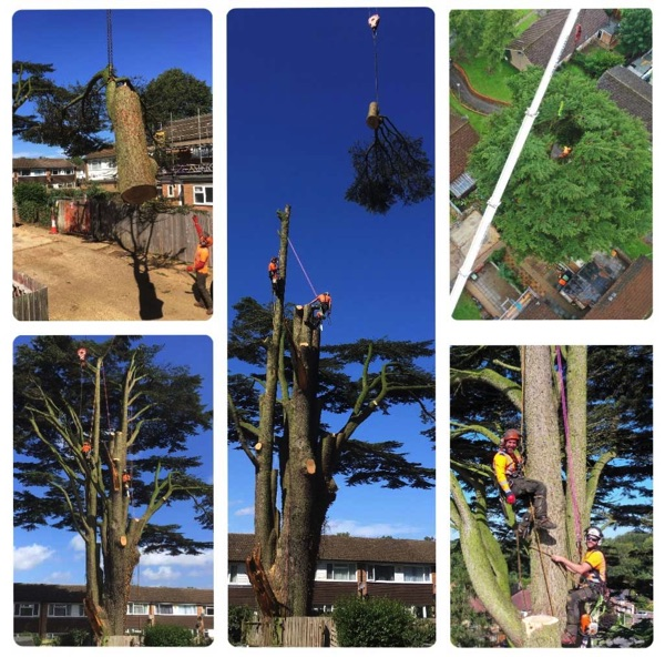Professional Arborist in a tree near Royston
